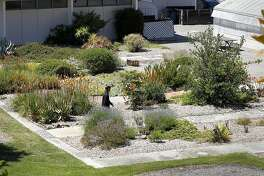 Student, Shawn Kann walks through one area of the gardens, on Friday June 17, 2011. Kann, a member of the Friends of the College of San Mateo Gardens - the students and faculty who oppose a plan by the college  to turn a lush garden on campus and put up a parking lot - got a lawyer and sued to stop the project. They claim it violates California's Enviornmental Quality Act.