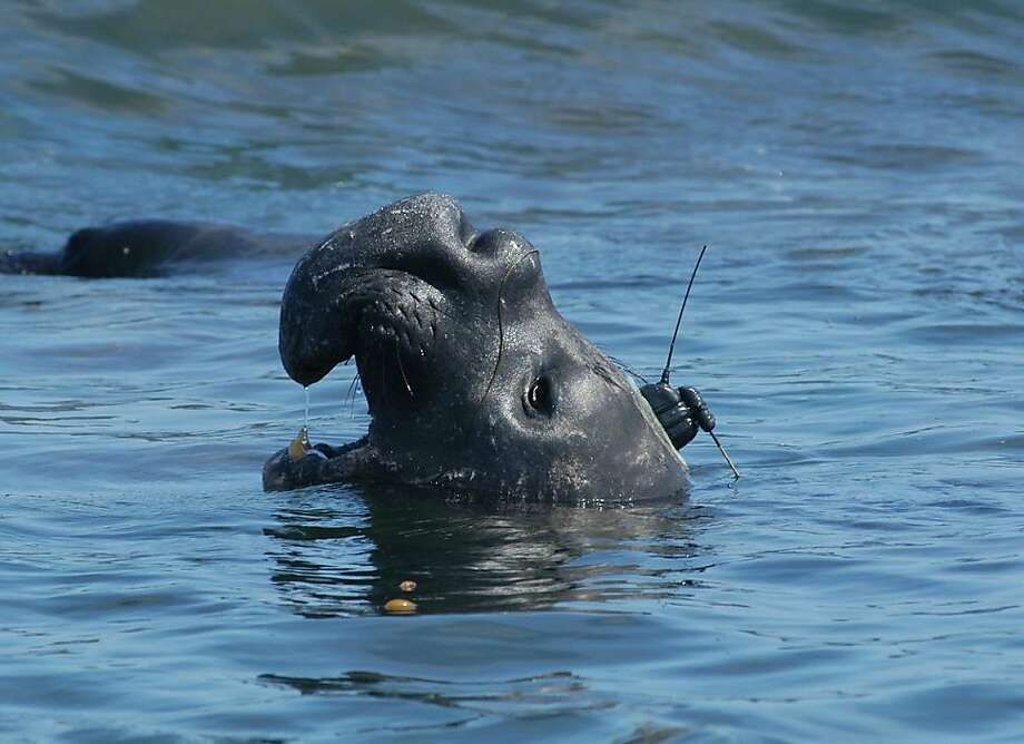 Male elephant seal - This bull elephant seal is carrying a tag which allows researchers to follow his movements in real-time.  The tag is glued to the fur, which is molted each year. Photo: Photo Courtesy Of TOPP