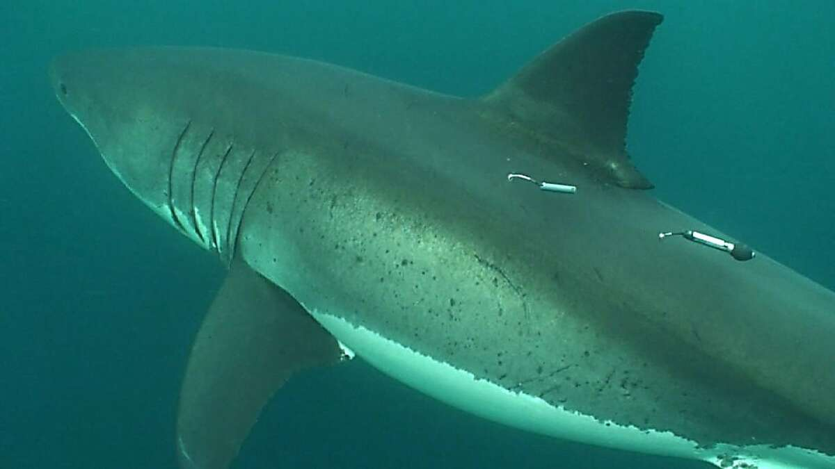 This white shark, photographed at the Farallon Islands off Northern California, has been tagged with an acoustic tag (front) and a pop-up satellite tag (rear) as part of the TOPP research program.
