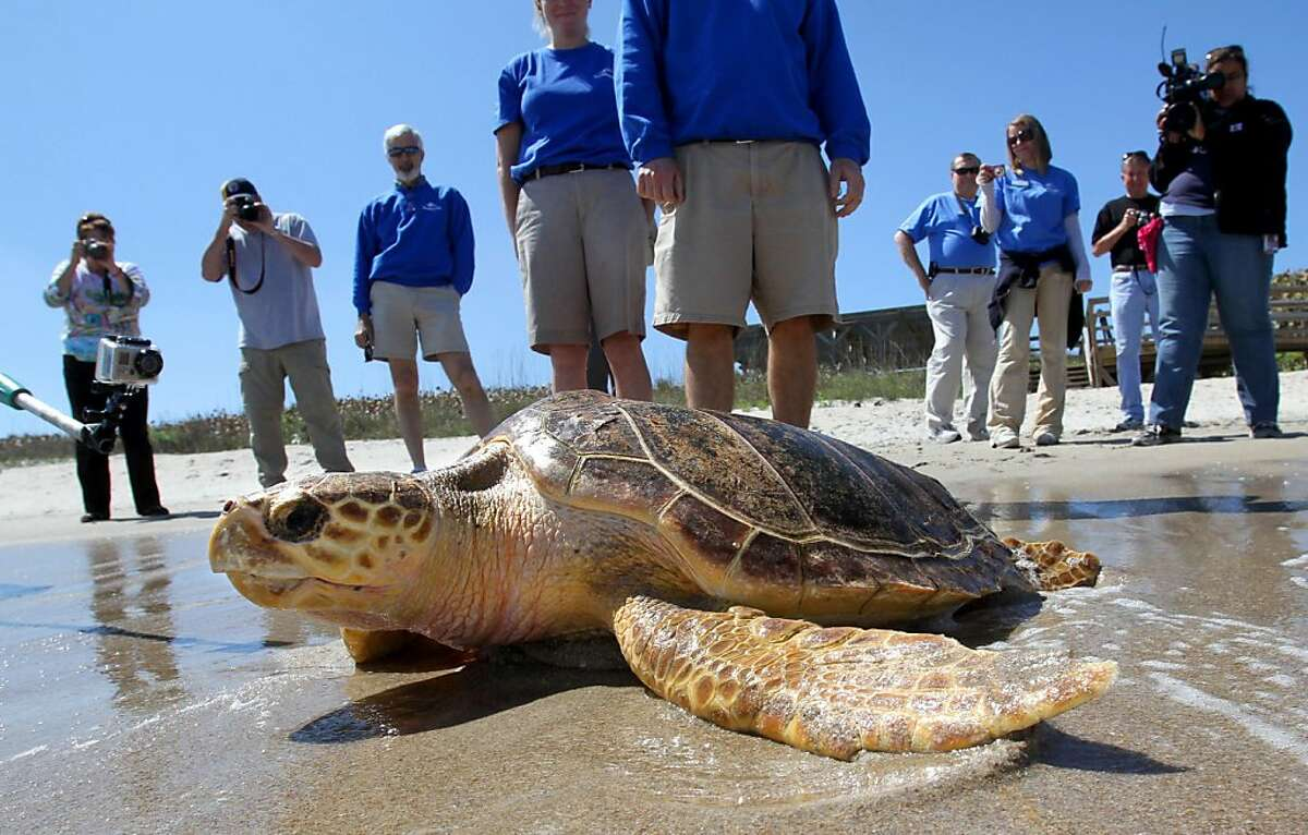 A small crowd watches as a hundred-pound Loggerhead turtle returns to the ocean at Canaveral National Seashore, during a release by SeaWorld Orlando, March 11, 2011. (Joe Burbank/Orlando Sentinel/MCT)