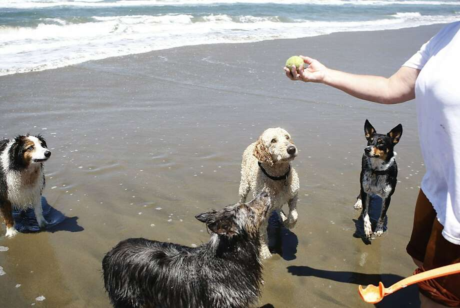 Chris Lent, left, plays with her five dogs at Ocean Beach in the Outer Sunset on Monday. Photo: Maddie McGarvey, The Chronicle