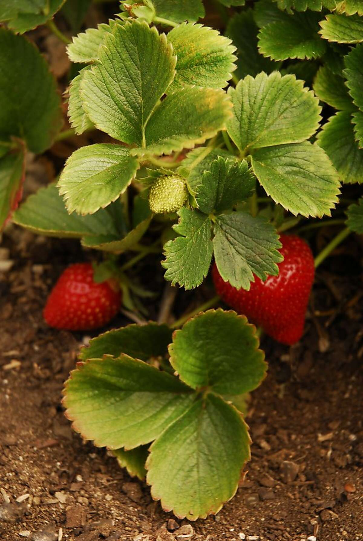 In cooler weather, strawberries may be firmer when ripe, but should be able to produce a good crop.