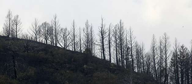 A ridge line of burnt trees are shown following the track fire north of Raton, N.M., Thursday, June 16, 2011. More residents are being allowed to return home as firefighters battling a blaze along the New Mexico-Colorado border brace for winds that are expected to test their fire lines. The Track fire has charred nearly 26,000 acres since starting Sunday. Photo: Rick Bowmer, AP