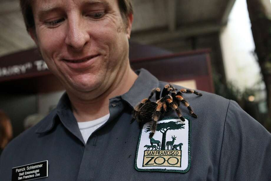 Patrick Schlemmer, an entomologist at the San Francisco Zoo, holds a Mexican Red Knee Tarantula named La Tormenta, in the Tropical Forest building in preparation of the opening of a Tarantula exhibit at the Zoo in San Francisco, CA Friday, June 10, 2011. Photo: Erin Lubin, Special To The Chronicle