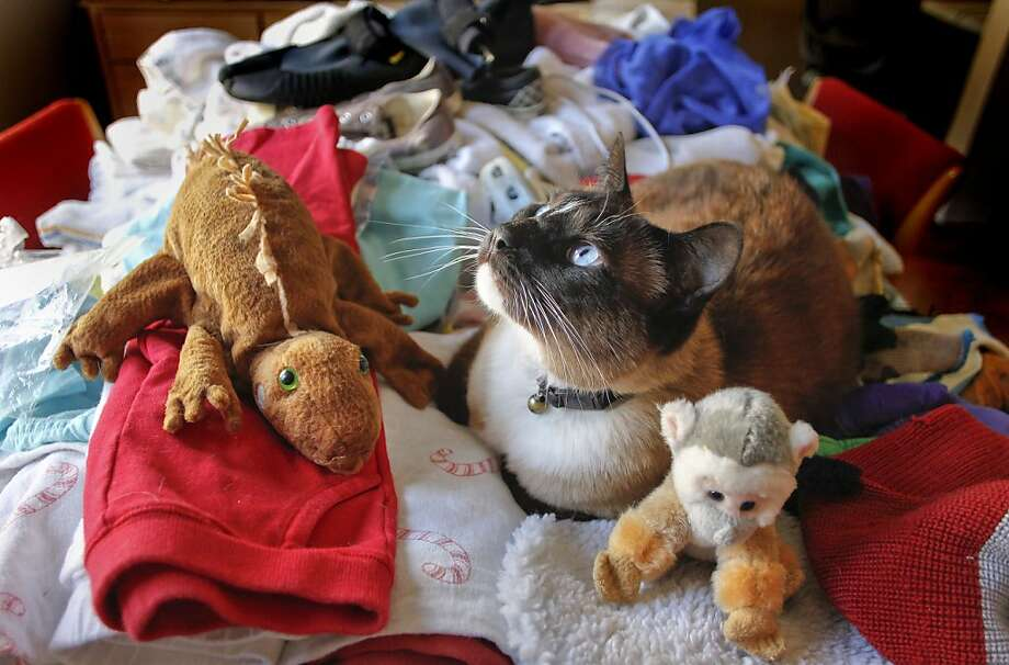 """Dusty"" rests among the many items, on Friday June 17, 2011, that he has brought home over the years to his house in San Mateo, Ca. ""Dusty"" the cat has a habit of stealing and his owners have more than 600 items the cat has acquired over the past three years including, towels, shoes, bras, hats and many more items. Photo: Michael Macor, The Chronicle"