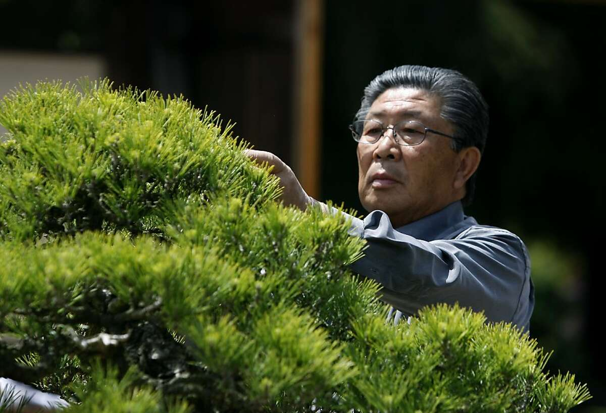 Yasuo Mitsuya, one of the world's reknowned bonsai experts, trims a 400-year-old Japanese Black Pine tree at the Lake Merritt Bonsai Garden in Oakland, Calif. on Saturday, May 7, 2011. The tree was once displayed at the 1915 Pan Pacific Exposition in San Francisco.