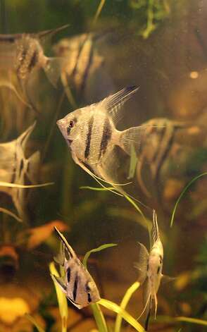 Angel fish swim in a tank at the Ocean Aquarium on Tuesday, June 14, 2011 in San Francisco, Calif. A new animal protection ordinance proposed by San Francisco's Animal Control and Welfare Commission would ban the sale of all animals including fish. Photo: Lea Suzuki, The Chronicle