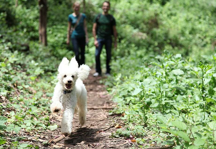 Tigger bounds up the trail leading his owner Kate Possin and her friend Erdem Tamguney on the newly finished portion of hiking trail inside Interior Greenbelt Park in San Francisco Calif, on Wednesday, June 8, 2011. Photo: Alex Washburn, Special To The Chronicle