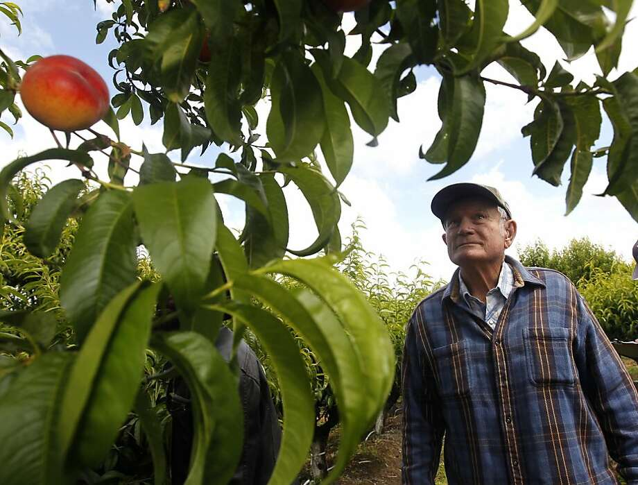 Floyd Zaiger leads a weekly tour for farmers at his Zaiger Genetics nursery in Modesto, Calif. on Wednesday, May 18, 2011. As one of the nation's top fruit geneticists for the past several decades, Zaiger and his team has cross-bred varieties of stone fruits, to come up with the pluot, aprium, white peach, and many others. Photo: Paul Chinn, The Chronicle