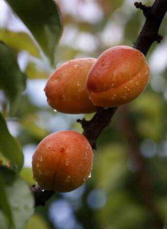 Apricots ripen on a tree at the Zaiger Genetics nursery in Modesto, Calif. on Wednesday, May 18, 2011. As one of the nation's top fruit geneticists for the past several decades, Floyd Zaiger and his team has cross-bred varieties of stone fruits to come up with the pluot, aprium, white peach, and many others. Photo: Paul Chinn, The Chronicle