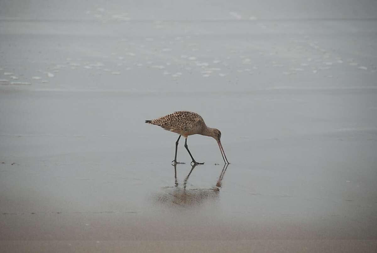 Marbled godwit on beach in Marina, Ca.