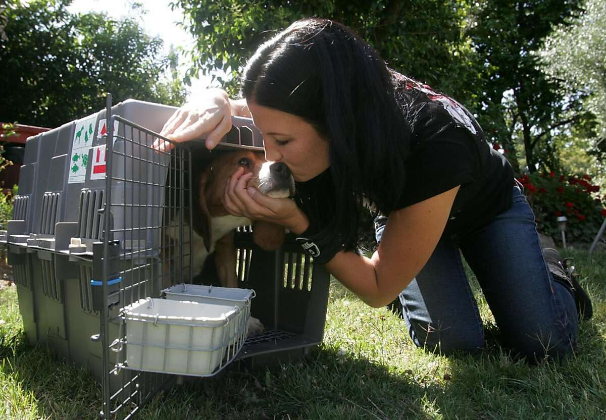Jill Ryther of the Beagle Freedom Project coaxes a beagle out of its kennel with a kiss after the group rescued nine of the canines from a testing laboratory on Wednesday, June 8, 2011 in San Jose, Calif. Millions of beagles are used as testing animals across the country because they are trusting, good-natured, and small.