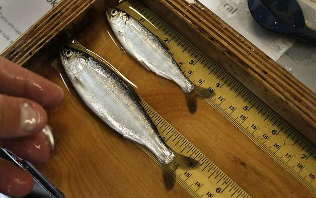 Small Chinook Salmon are measured after being collected at the Tracy Fish Collection Facility on the Delta Mendota Canal in Byron, Ca. on Friday June 3, 2011, The fish are gathered and saved from being sucked into the intake pumps above the facility. Photo: Michael Macor, The Chronicle