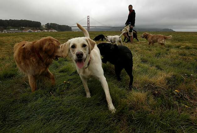 Professional dog walker, Jon Walker runs his dogs along the hugh grass lawn at Crissy Field, in San Francisco, Ca., on Friday May 27, 2011, as the recreation area gets ready to celebrate the 10th anniversary of it's restoration. Photo: Michael Macor, The Chronicle