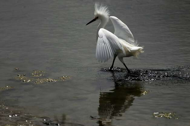 A Snowy Egret walks along the marsh area at Crissy Field, in San Francisco, Ca., on Friday May 27, 2011, as the recreation area gets ready to celebrate the 10th anniversary of it's restoration. Photo: Michael Macor, The Chronicle