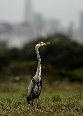 A Great Blue Heron at Crissy Field, in San Francisco, Ca., on Friday May 27, 2011, as the recreation area gets ready to celebrate the 10th anniversary of it's restoration. Photo: Michael Macor, The Chronicle