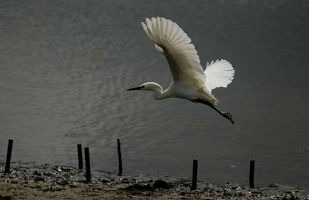 A Snowy Egret takes off from the marsh area at Crissy Field, in San Francisco, Ca., on Friday May 27, 2011, as the recreation area gets ready to celebrate the 10th anniversary of it's restoration. Photo: Michael Macor, The Chronicle