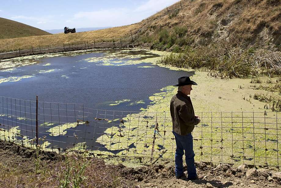 Darrel Sweet looks into a man-made pond on his ranch, which has attracted several threatened species that have made it their home in Livermore, Calif., on Thursday, May 26, 2011.  Sweet has been working with conservationists to maintain the pond through programs that encourage ranchers and conservationists to work together. Photo: Laura Morton, Special To The Chronicle