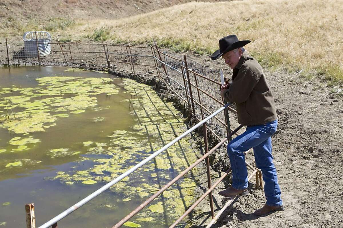 Darrel Sweet looks into a man-made pond on his ranch, which has attracted several threatened species that have made it their home in Livermore, Calif., on Thursday, May 26, 2011. Sweet has been working with conservationists to maintain the pond through programs that encourage ranchers and conservationists to work together.