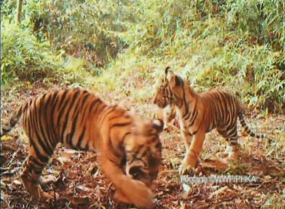 In this undated frame grab from video released by WWF-Indonesia and the Directorate General of Forest Protection and Nature Conservation of Indonesian Forestry Ministry (PHKA), Sumatran tiger cubs play in the Bukit Tigapuluh National Park on Sumatra island, Indonesia. Video cameras captured 12 critically endangered Sumatran tigers, including mothers with their cubs, in Indonesian forests slated to be cut down, wildlife activists said Monday, May 9, 2011. (AP Photo/WWF-Indonesia/PHKA) EDITORIAL USE ONLY Photo: Wwf, Associated Press