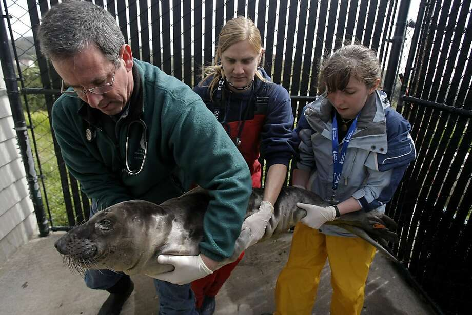 Veterinarian Dr. Bill Van Bonn (l to r), associate veterinarian Rebecca Greene, and Sarah Smith, vet intern from Colorado State, carry a sedated elephant seal named Voodoo, into the x-ray and echocardiogram room for exams at The Marine Mammal Center in Sausalito, Calif., on Friday, March 25, 2011. Photo: Thomas Levinson, The Chronicle