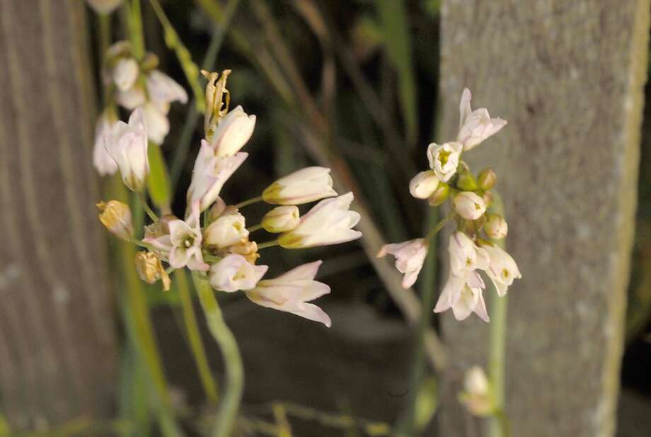 Delicate pink-striped white flowers atop bare stems fool a gardener into sparing this terrible weed. Photo: Pam Peirce
