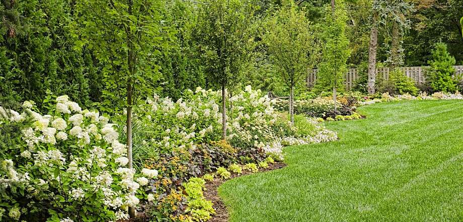 hydrangea paniculata 39 limelight 39 sfgate. Black Bedroom Furniture Sets. Home Design Ideas