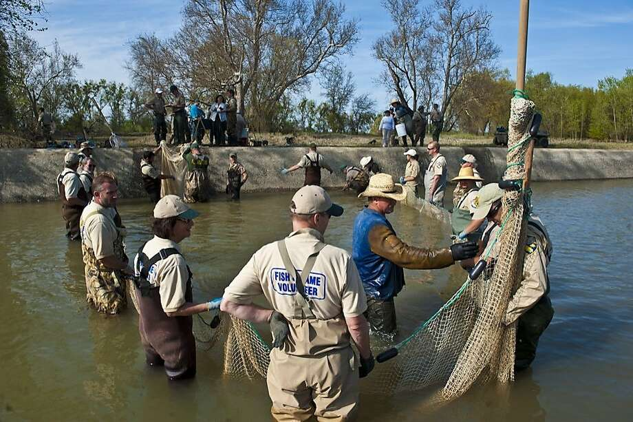 A group from the Department of Fish and Game and its Natural Resource Volunteer Program rescue stranded sturgeon and salmon this spring (April) at the Fremont Weir, north of Sacramento Photo: Courtesy DFG