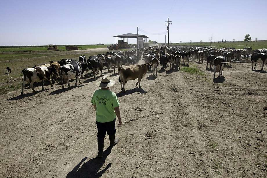 Fresno, CA--- Victor Hernandez walks some of the 375 dairy cows that are milked twice a day at the Organic Pastures Dairy which is the first raw milk dairy with certified organic pastureland in California. Raw milk producers have been scrutinized by the Food and Drug Administration which has been using SWAT teams, guns-drawn raids and other abusive tactics in its campaign against unpasteurized milk, a legal product in California and considered essential to high-quality cheeses, creams and other dairy products in Europe. Photo: Tomas Ovalle, Special To The Chronicle