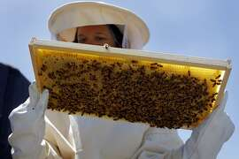 San Francisco Chronicle reporter Meredith May checks to see that her bees are producing honey and that the queen has laid eggs in the brood comb, Tuesday April 26, 2011, on the Chronicle's rooftop garden in San Francisco, Calif.