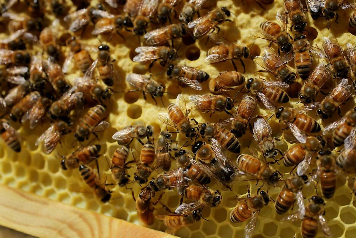 The honey bees crawl over the brood comb, which is where the queen has laid her eggs, Tuesday April 26, 2011, on the roof top of the San Francisco Chronicle in San Francisco, Calif. The brood also know as larvae is 10 day old and will hatch at 21 days.