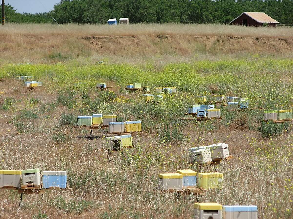Boxes of fertile queens in mating field near an almond tree grove in Orland, CA. They are painted in different colors to help the bees locate their home base.