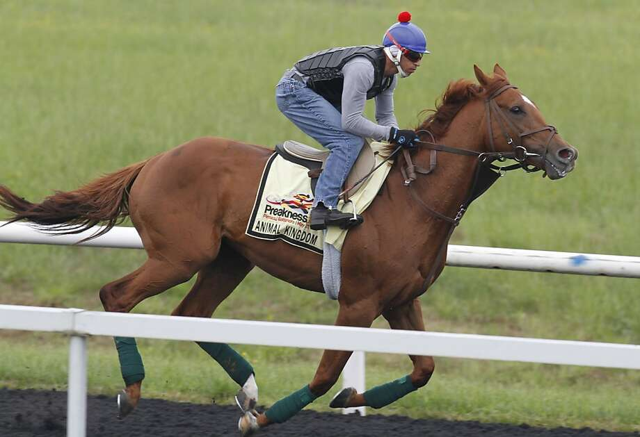 Kentucky Derby winner Animal Kingdom, ridden by David Nava, takes a training run on the training track at Fair Hill Training Center in Elkton, Md., Friday, May 20, 2011. Animal Kingdom is entered in Saturday's 136th running of the Preakness Stakes. Photo: Steve Helber, AP