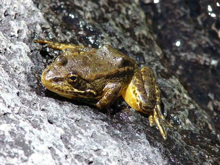 Mountain yellow-legged frog in Kings Canyon, Calif. Photo: Rick Kuyper, US Fish & Wildlife