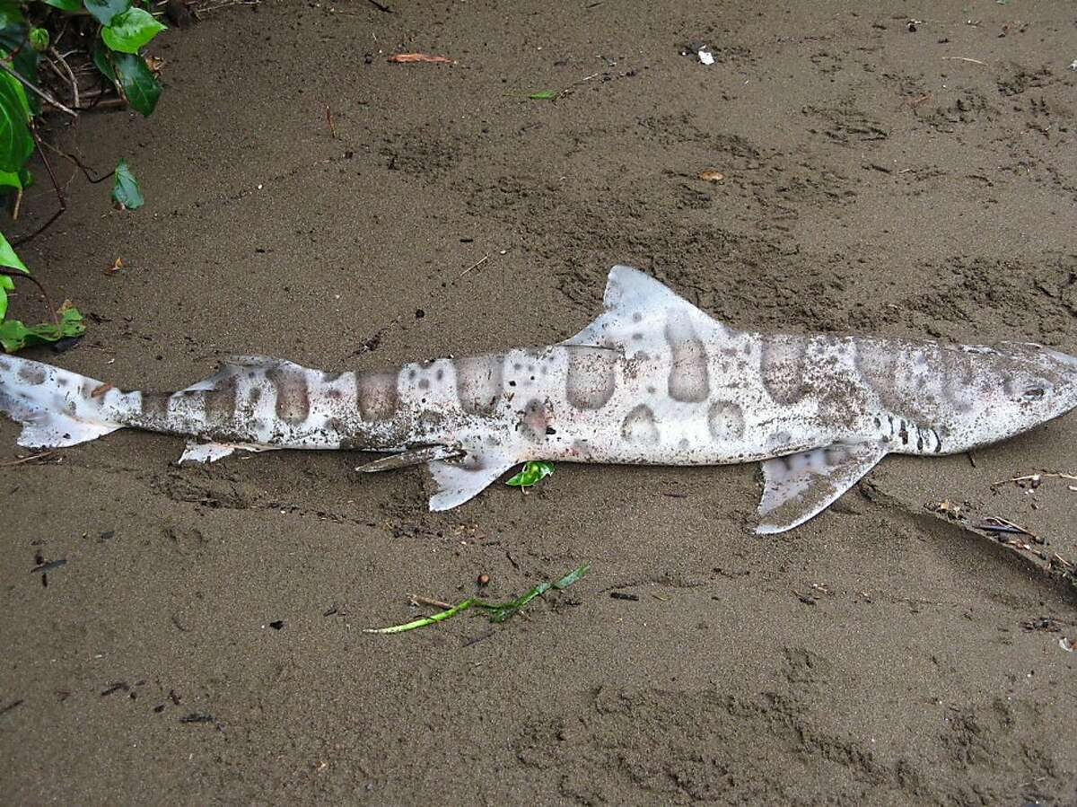 Scores of leopard sharks have been found dead or dying around the Bay Area. No one knows yet what is the cause. This shark was found dead at Swede's Beach in Sausalito, Calif., Tuesday May 17, 2011.