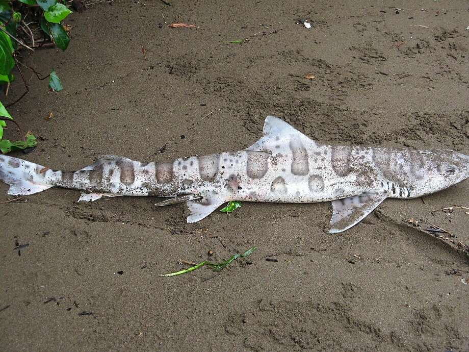 Scores of leopard sharks have been found dead or dying around the Bay Area.  No one knows yet what is the cause.  This shark was found dead at Swede's Beach in Sausalito, Calif., Tuesday May 17, 2011. Photo: Courtesy Rosemary La Puma