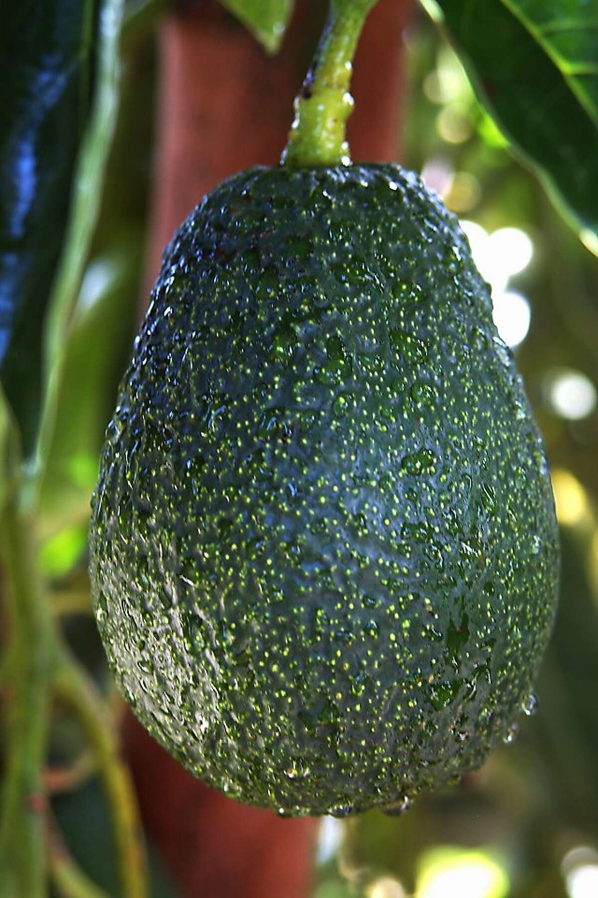 'Lamb Hass' avocado is a cross between the popular Hass and an earlier dwarf type named 'Gwen.' It bears good quality fruit on a small tree April-November.