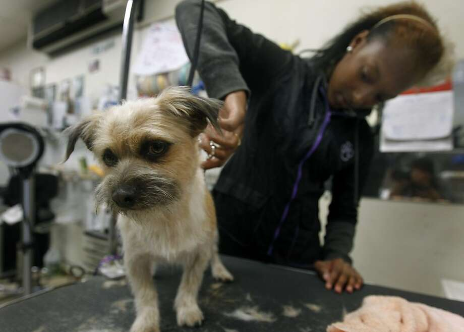Wilson gets the full spa treatment from Ajunee Mitchell at the Pinole Paws pet salon in Pinole, Calif. on Thursday, May 12, 2011. Photo: Paul Chinn, The Chronicle
