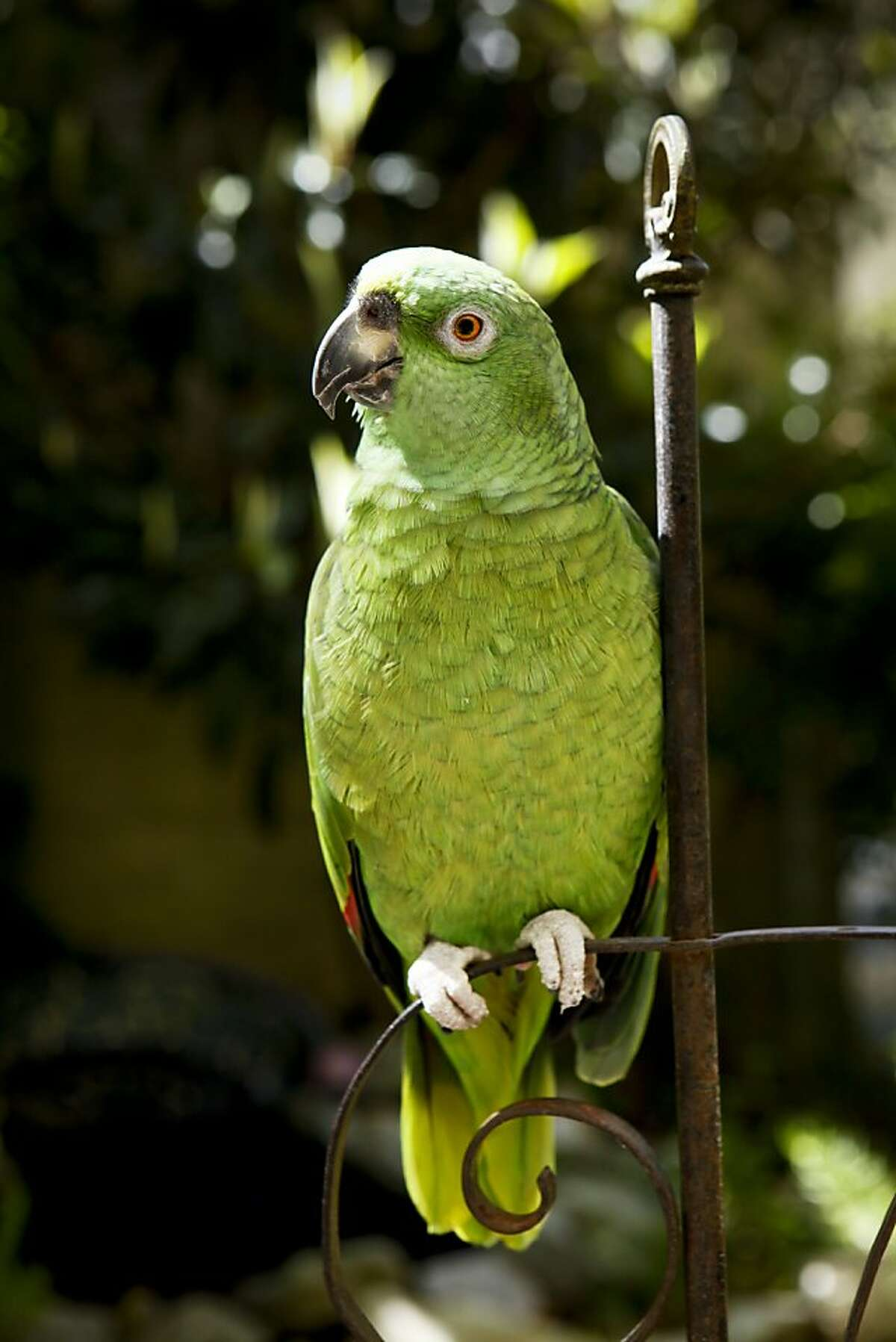 Simon, a 23-year old Yellow Nape Amazon Parrot sits in a garden created by its owners, James Pettigrew and Sean Stout of Organic Mechanics, on Friday, May 6, 2011 in San Francisco, Calif.
