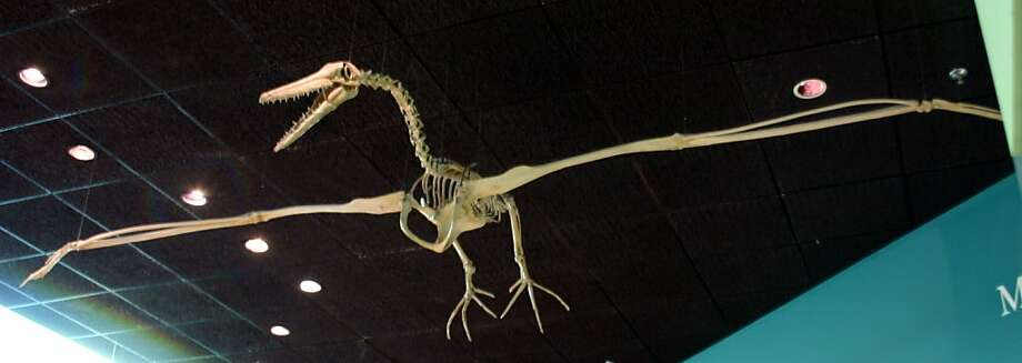 A replica of a Pelagornis skeleton at the Smithsonian National Museum of Natural History.  A rare fossil bird, found near Half Moon Bay, was one of the bony-toothed pelagornithids extinct for nearly 3 million years. Photo: Ryan Somma