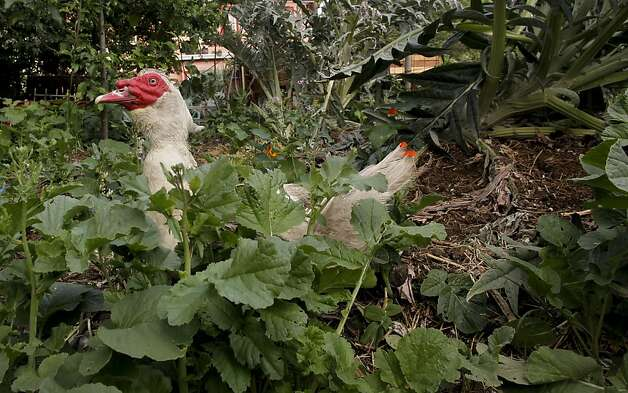 One of Novella Carpenter's ducks roams the vegetable gareden at her GhostTown Farm on the corner of Martin Luther King Blvd. and 28th Street in Oakland, Ca., on Saturday May 7, 2011. For eight years Carpenter and her boyfriend have farmed on a vacant urban lot  growing vegetables and raising ducks, goats and rabbits. The City of Oakland came by her farm and shut her down, saying she needed a $5,000 permit to grow vegetables there. Photo: Michael Macor, The Chronicle