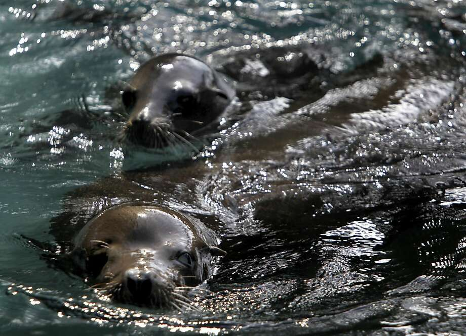 Silent Knight (front), and his sidekick and fellow blind sea lion Henry, get comfortable in their new home at the San Francisco Zoo on Friday, May 6, 2011. Both Silent Knight, rescued after he was blinded by gunshot wounds to his head last December, and Henry, who is blind for unknown reasons, were rehabilitated at the Marine Mammal Center and have now found a permanent home at the zoo. Photo: Paul Chinn, The Chronicle