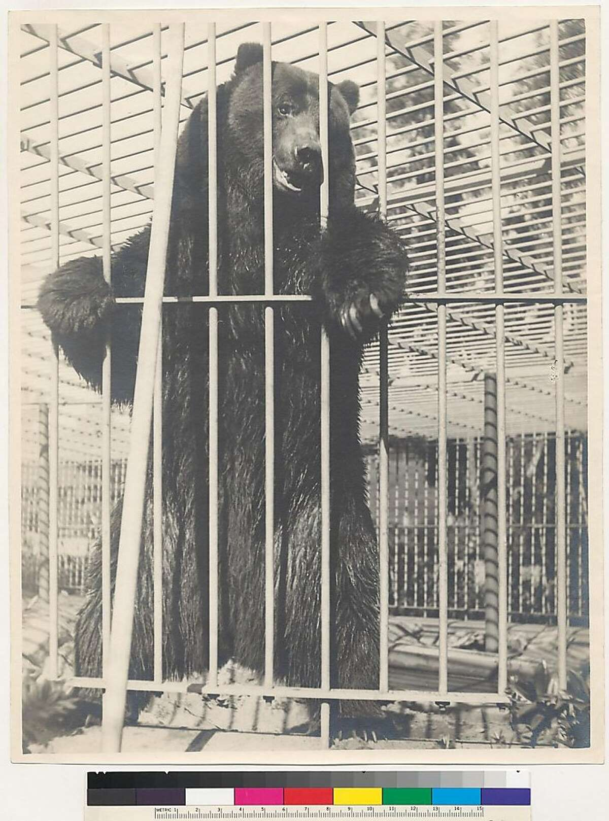Monarch in his enclosure at Golden Gate Park. The last California grizzly bear in captivity, Monarch died in 1911. He was the model for California's bear flag.