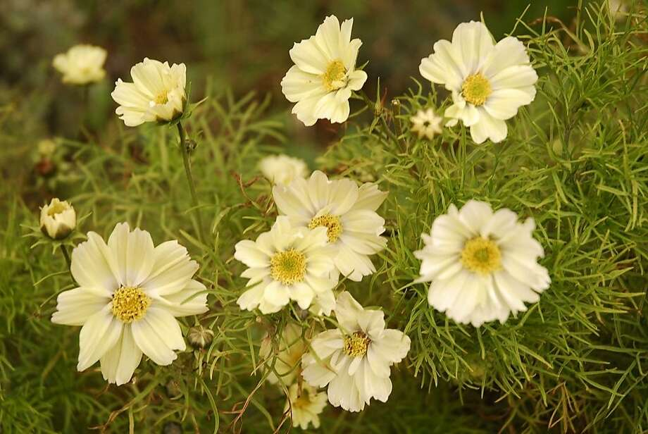 Cosmos attracts whitefly natural enemies such as lacewings and lady beetles. Seed for these pale yellow garden cosmos is available through Seeds of Change (seedsofchange.com). Photo: Pam Peirce