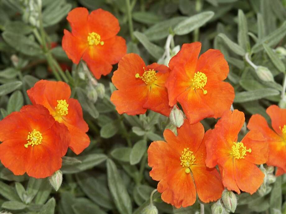 Helianthemum Photo: Martin Fletcher