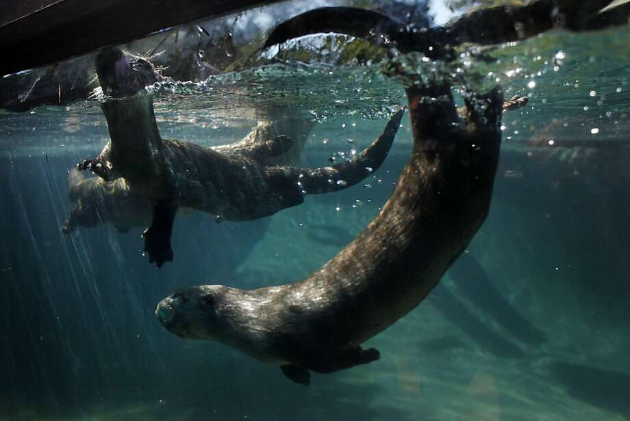 Two new baby river otters named Tallulah and Ahanu, swim in the otter exhibit at the Oakland Zoo on Wednesday May 4, 2011 in Oakland, Calif. Photo: Mike Kepka, The Chronicle