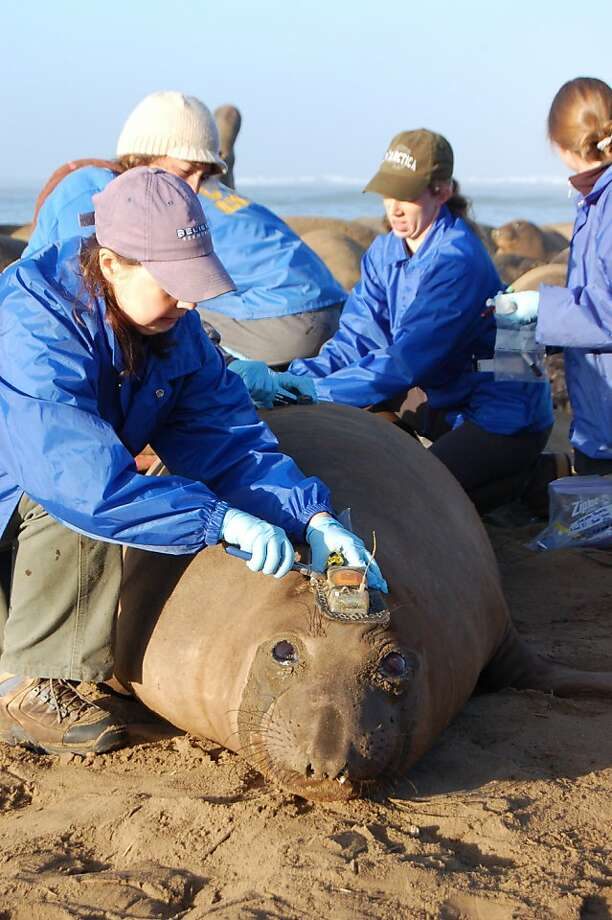 Students from Prof. Daniel Costa's Lab at UC Santa Cruz put a tracking device on an elephant seal at Año Nuevo State Reserve along the San Mateo County coast Photo: Amy Miller, KQED-QUEST