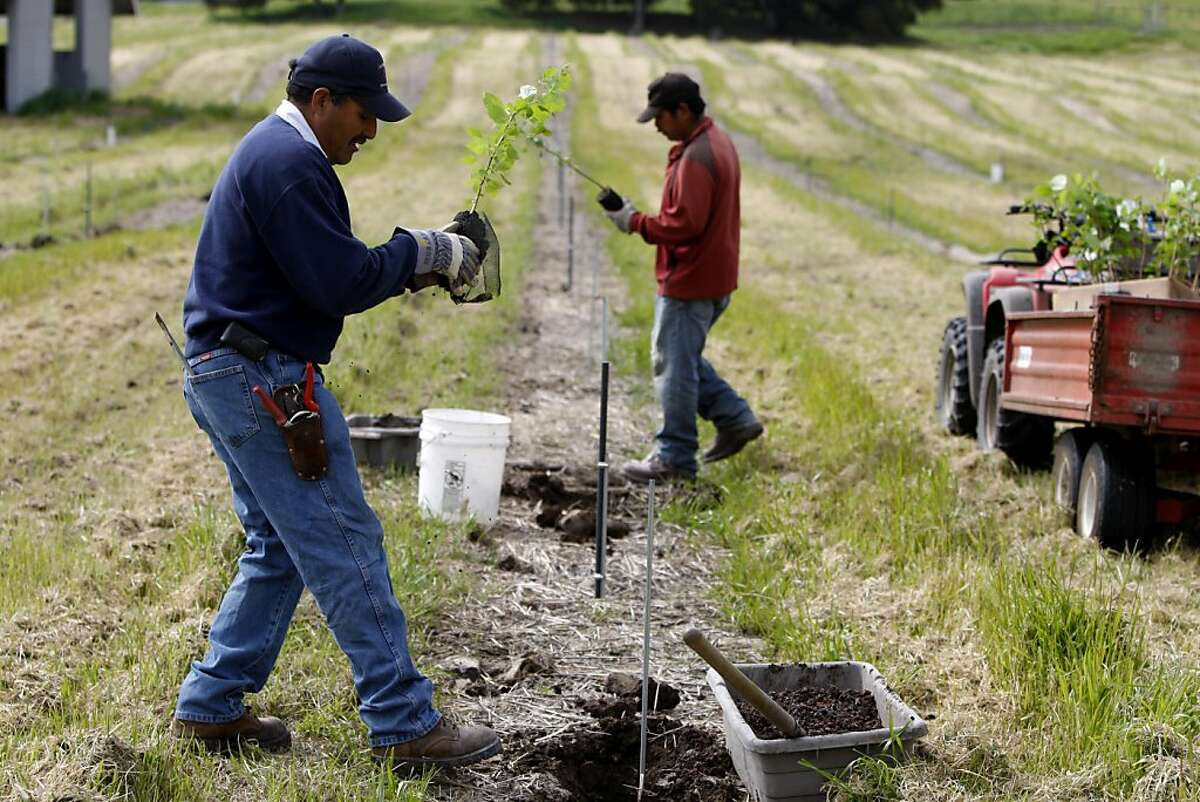 Cain Calvo (left) and Louis Gonzales (right) plant hazelnut saplings. Jackson Family Wines in the process of planting hazelnut trees inoculated with PŽrigord truffle spores in Santa Rosa, Calif., on Friday, April 15, 2011.