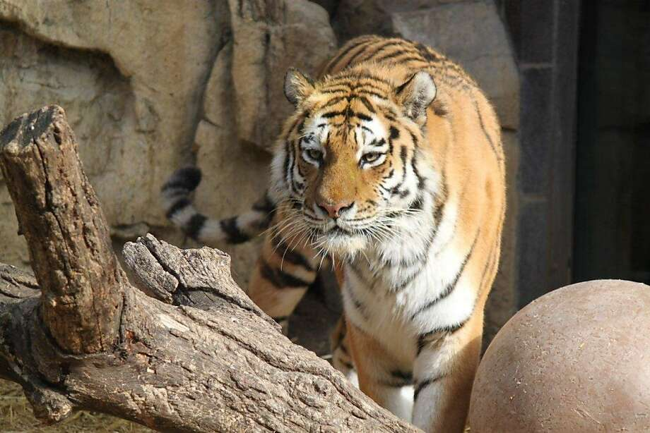 A new Siberian tiger is coming to the San Francisco Zoo from Omaha's Henry Doorly Zoo. Photo: San Francisco Zoo