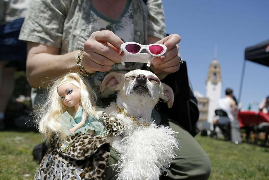 "Paula Skelton of El Sobrante adds on the finishing touches to Lilly's Paris Hilton themed costume during SPCA's ""The Whole Enchihuahua"", a day-long dog event and costume contest to support Chihuahuas at Dolores Park in San Francisco, Calif., on Sunday, May 1, 2011. Skelton and Lilly would go on to win second place in the costume contest. Photo: Thomas Levinson, The Chronicle"